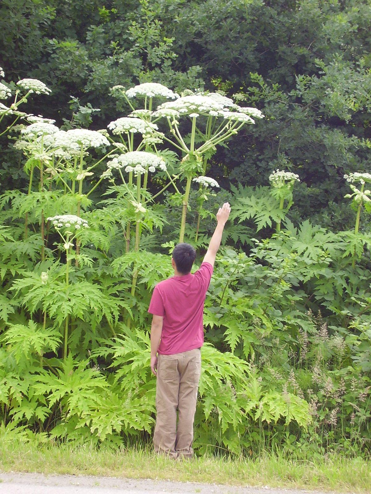 Giant hogweed Giant Hogweed. Very dangerous. Please