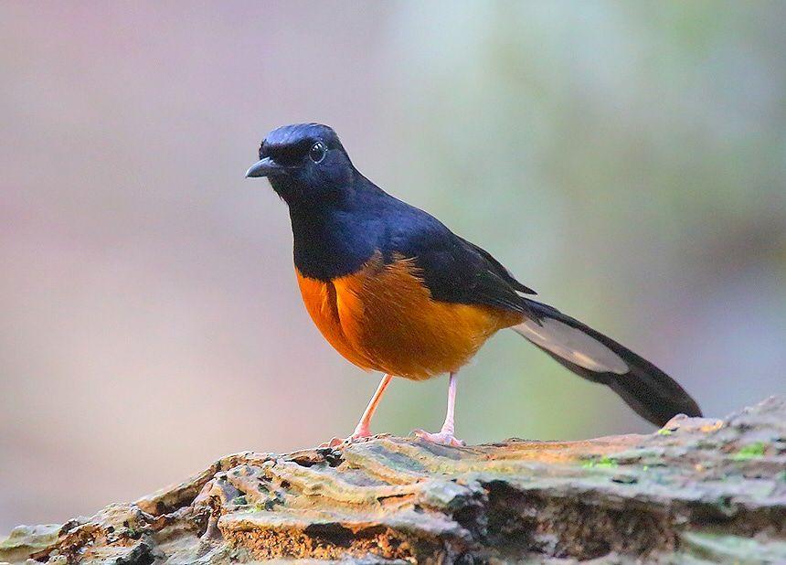 9 Ciri Murai Batu Kualitas Super Burung Cantik Murai Burung
