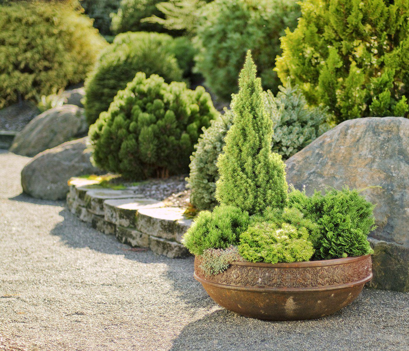 Small Evergreen Shrubs For Pots: Small Evergreens, Big Impact