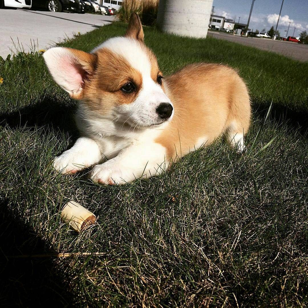 Corgi 15 3k Likes 74 Comments Corgi Fan Thecorgiworld On