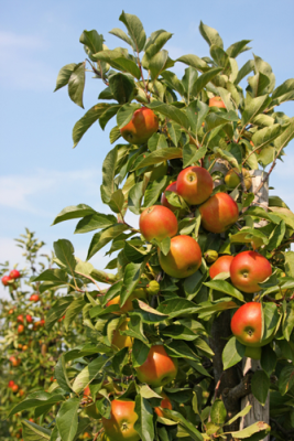 Keep birds out of your fruit trees.  Use bird repellents that scare the birds away.