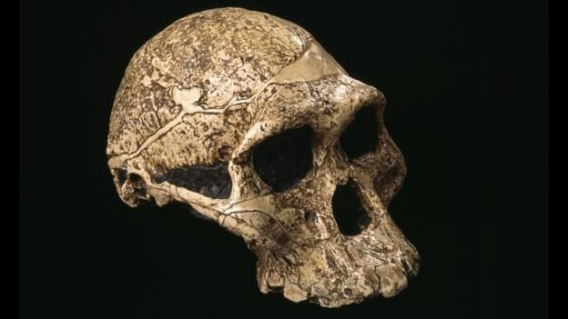 "The skull of an Australopithecus-Several million years ago, when a great many hominin species lived side-by-side, they mainly ate plants. ""There is no evidence they were systematically preying on large animals,"