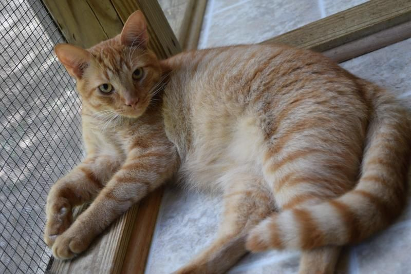 Garfield is an adoptable Tabby - Orange searching for a forever family near North Augusta, SC. Use Petfinder to find adoptable pets in your area.