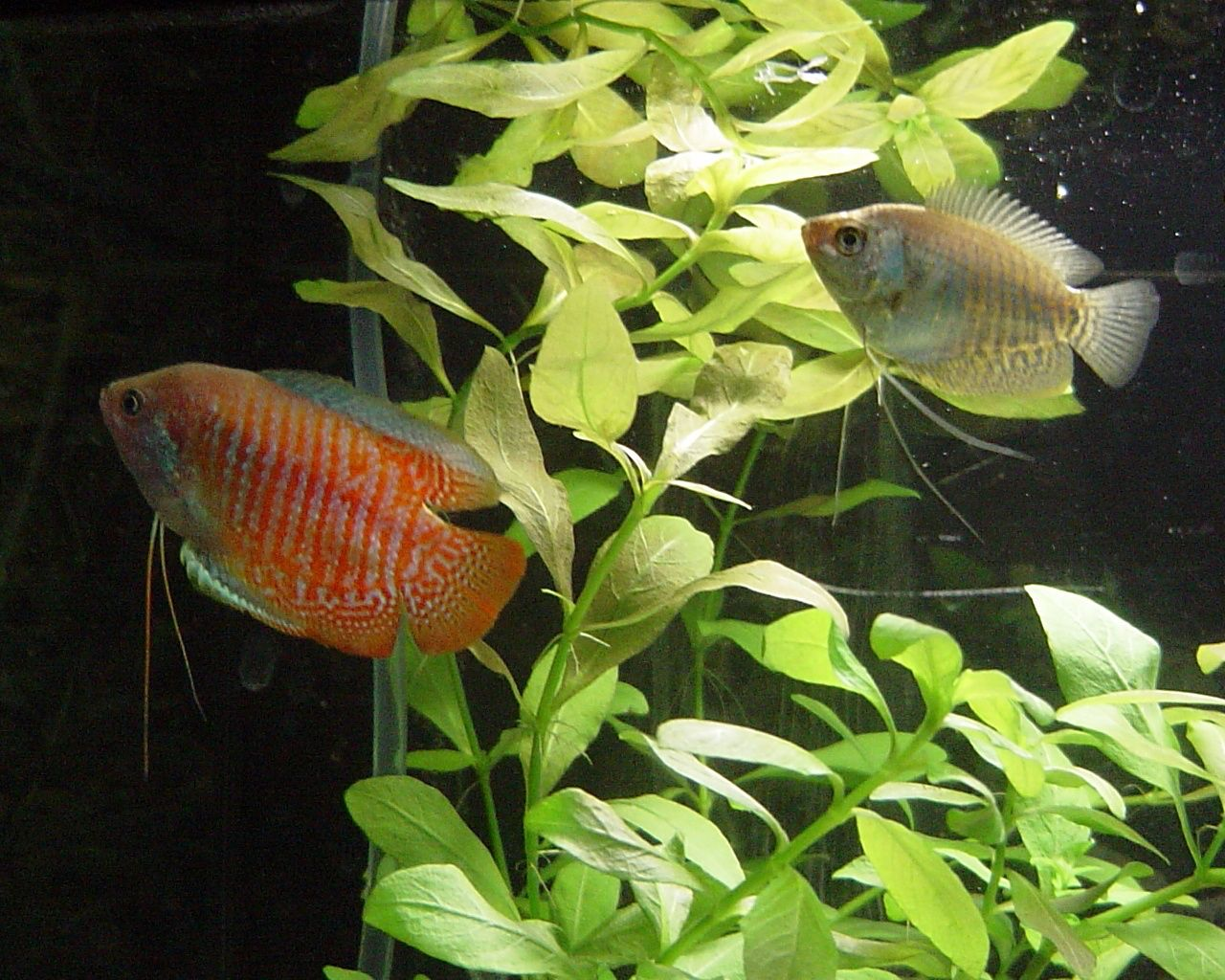 Freshwater aquarium fish from asia - Asia