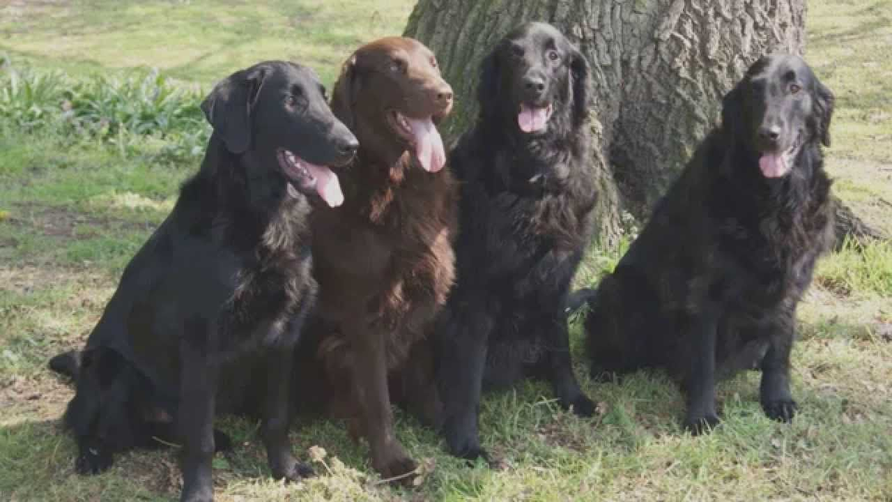 Top 10 Most Amazing Facts About Flat Coated Retriever