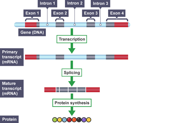 Rna splicing diagram educao biocel pinterest gene expression rna splicing diagram ccuart Images