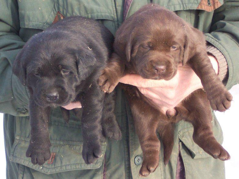 Labrador Welpen Retriever Welpen Welpen Hundebaby