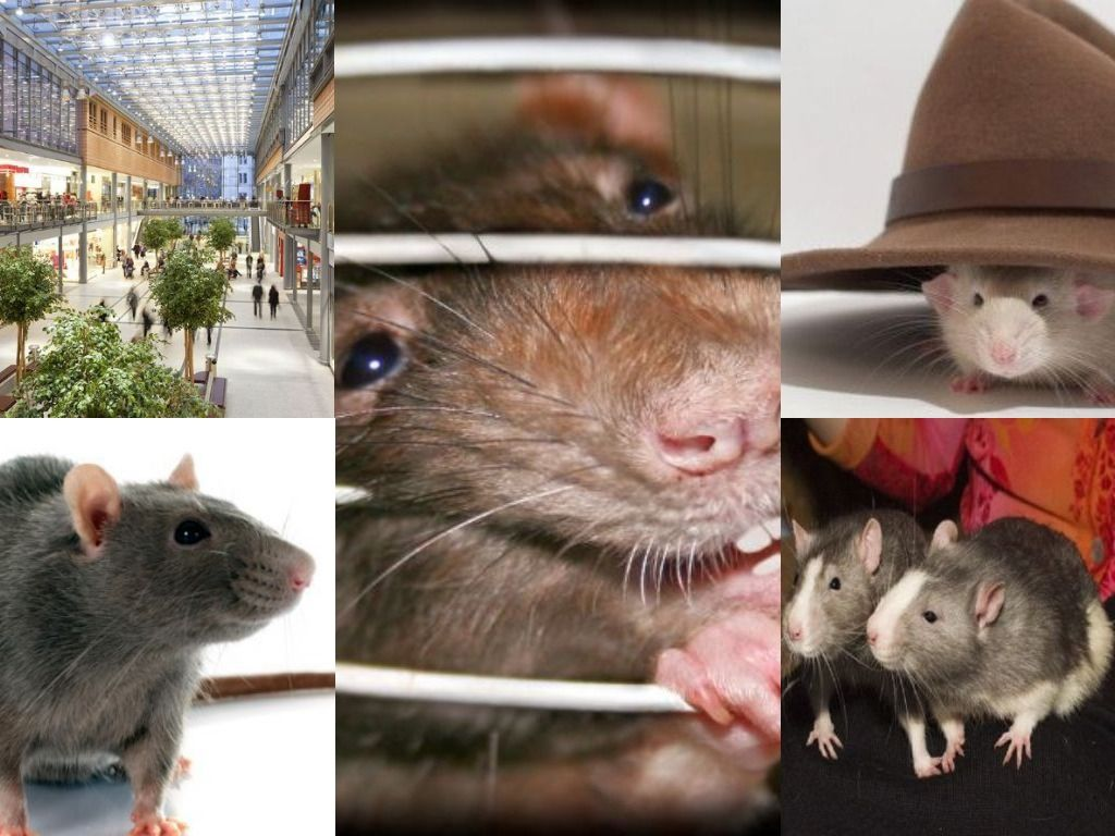 Ratsense (ratsense) on Pinterest