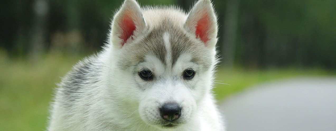 The Visiting Vet House Call Vet Service Palm Beach County Cute Husky Puppies Pomsky Puppies Cute Animals