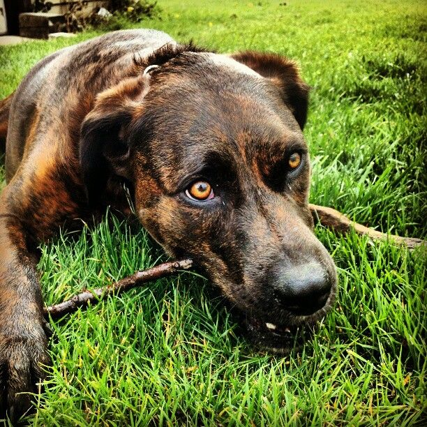 Plott hounds have the prettiest eyes! #plotthound