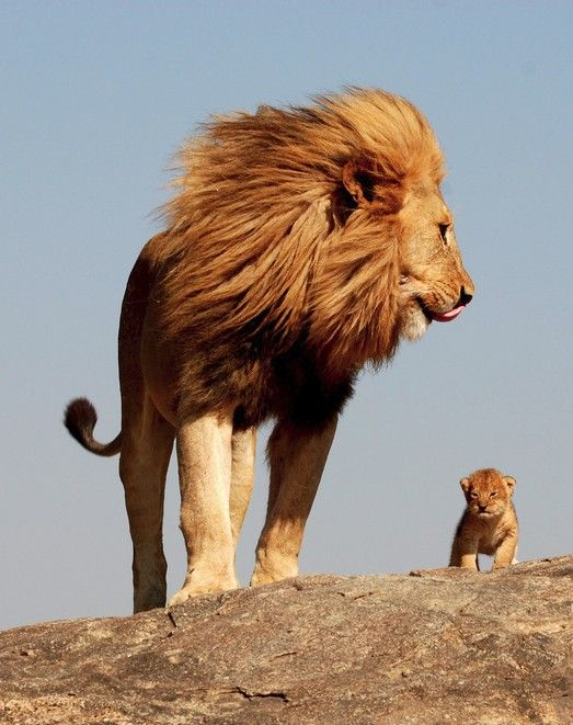 Awwww i love lions animals pinterest lions animal and cat so strong and beautiful they grow to be so big brave and smart i love this picture id protect my child as a lion would his cub sciox Gallery