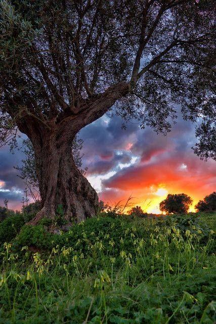 ผลการค้นหารูปภาพสำหรับ olive tree sunset hdr