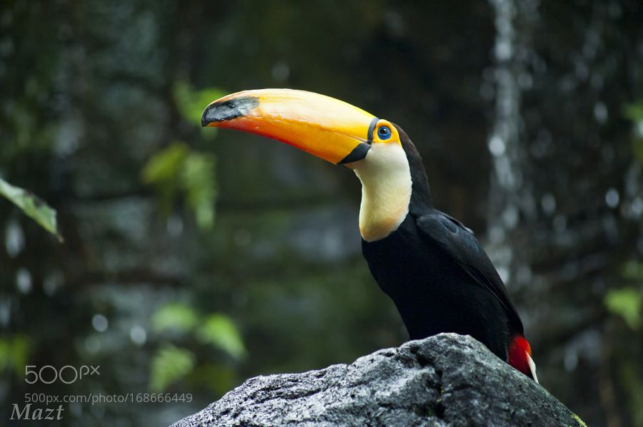 The colors of the toucan by MiguelAngelZapata via http://ift.tt/2bKU2kN