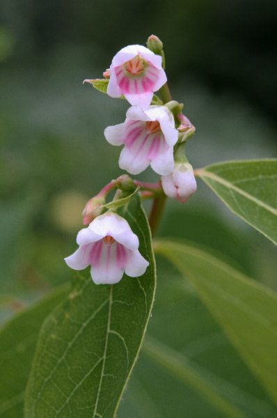 Spreading Dogbane In The Home Garden It Is One Of The Prettiest