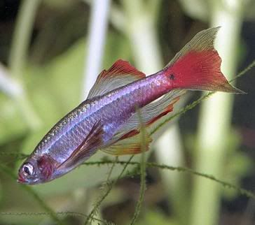 White Cloud Mountain Minnow Fish With Pictures Fish Tropical Fish Aquarium Tropical Fish