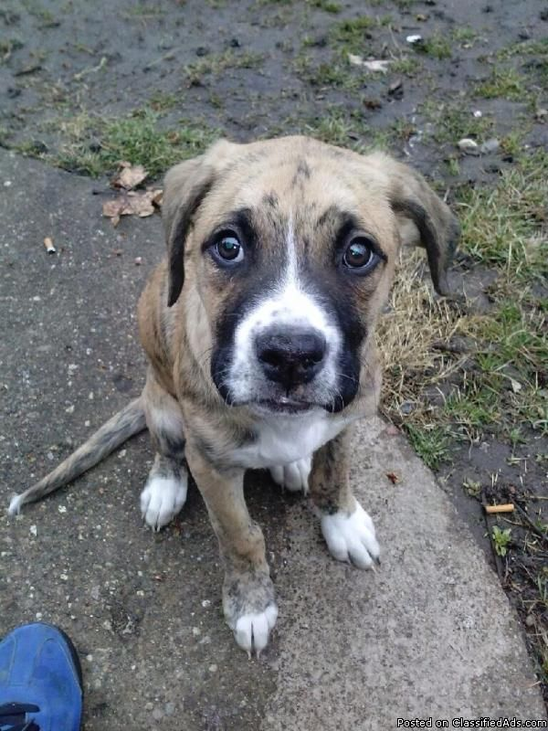 4 month old brown brindle boxer/lab puppy for sale. (With