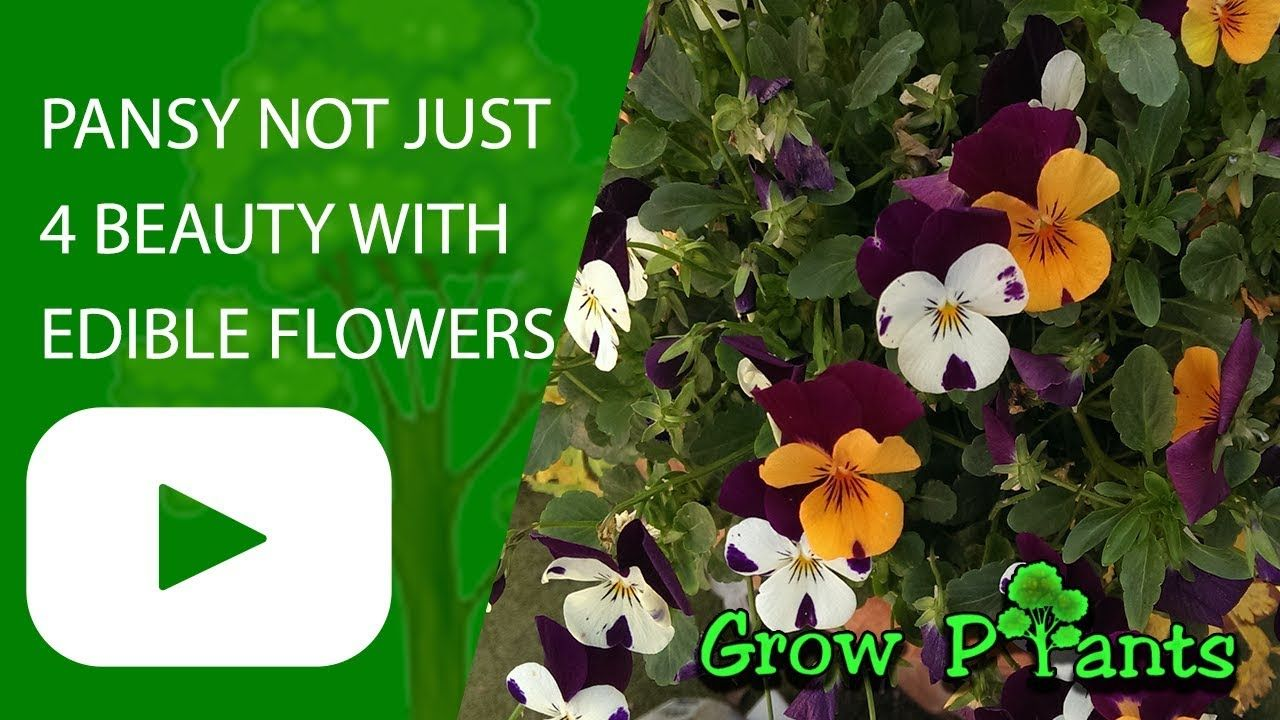 Pansy Plant Growing Not Just For Beauty With Edible Flowers Leaves Grow Care Pansies Flowers Edible And Ornamental Al Plants Plant Sale Edible Flowers
