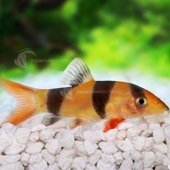 Clown Loach | Aquarium fish, Clown fish