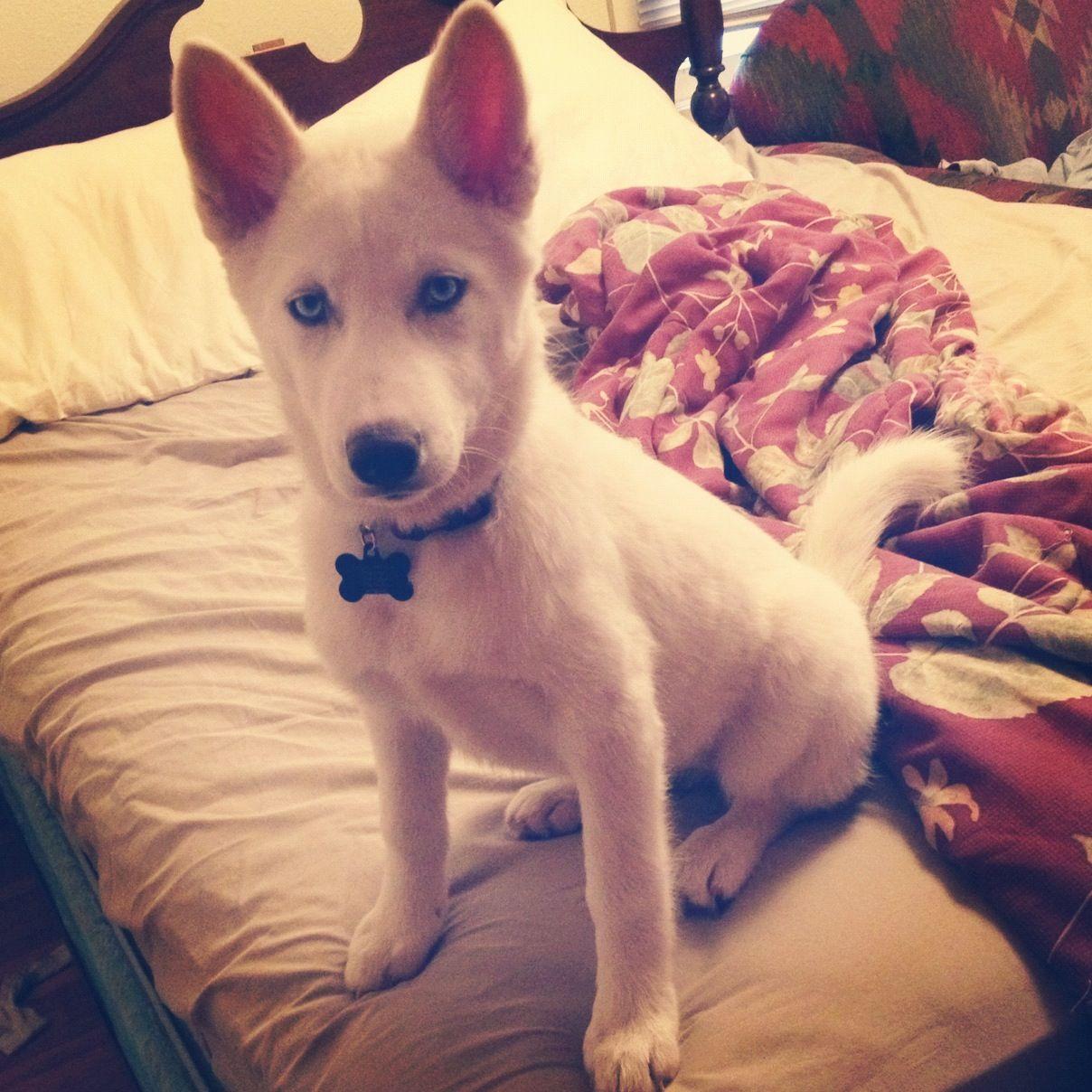 My baby, Arya. Siberian husky