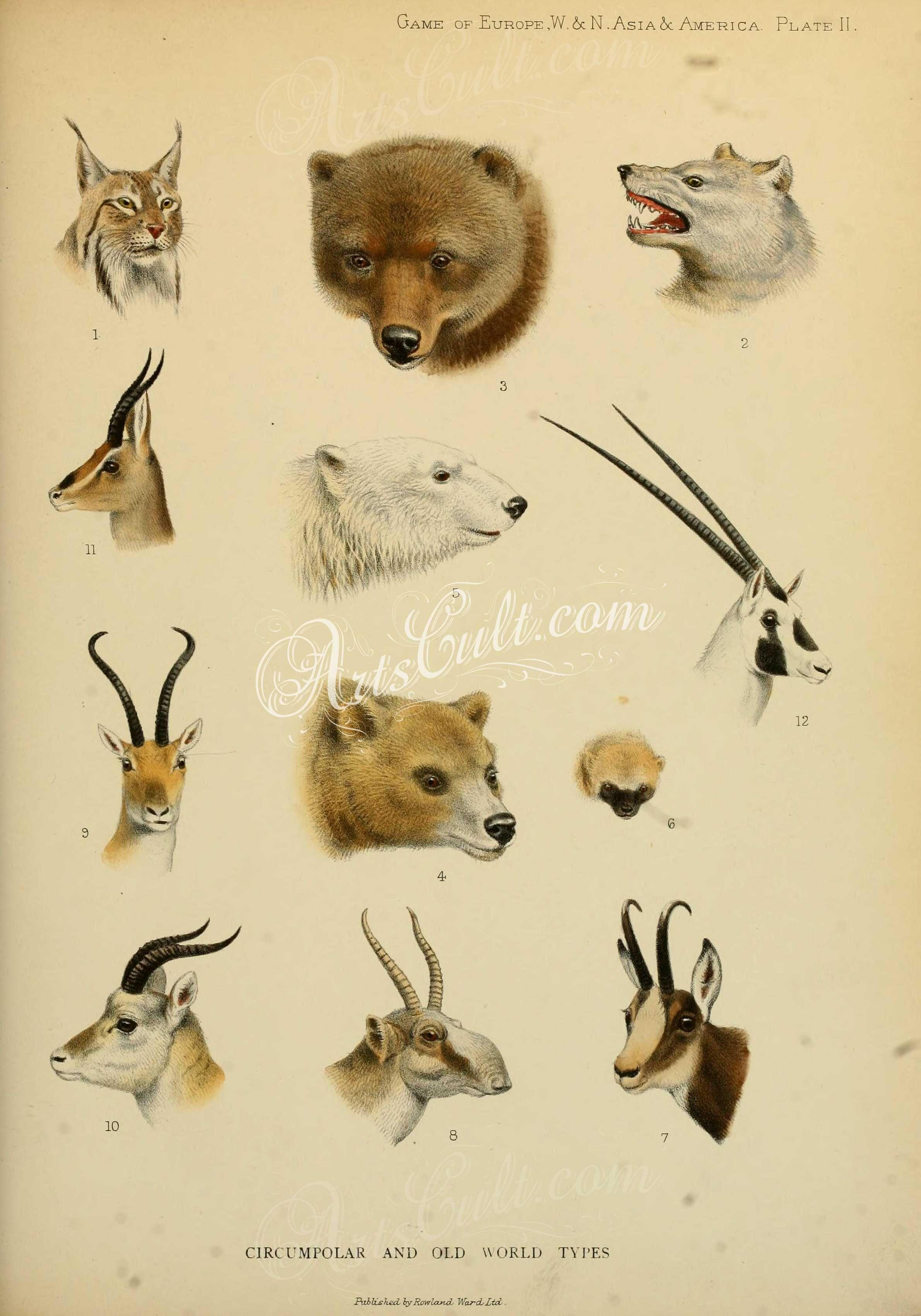 mammals-03538 Common Lynx, American Wolf, Alaskan Brown Bear,. Kamchatkan  Brown Bear, Polar Bear, Wolv…   Scientific illustration, Animal  illustration, Illustration