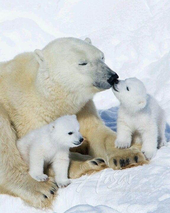 Luv U Snooks Baby Polar Bears Cute Polar Bear Polar Bear
