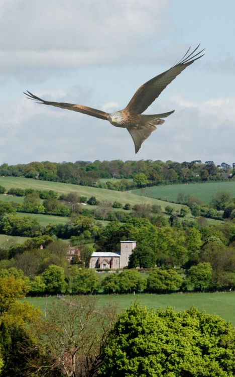 Red Kite, Chiltern Hills, Buckinghamshire, Englandby Gerry...
