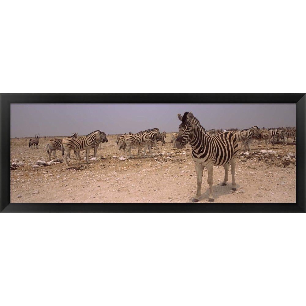 Herd of zebras, Etosha National Park, Namibia\' Framed Panoramic ...