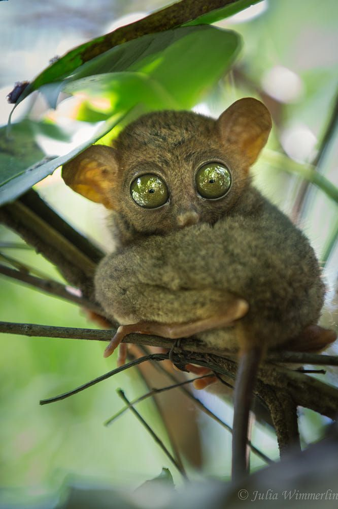 Tarsier by Julia Wimmerlin on 500px