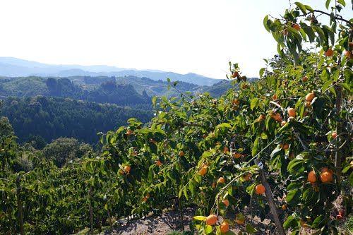 柿畑の向こうに高野山方面の山並み - 五條市西吉野にて (2012/10/22)