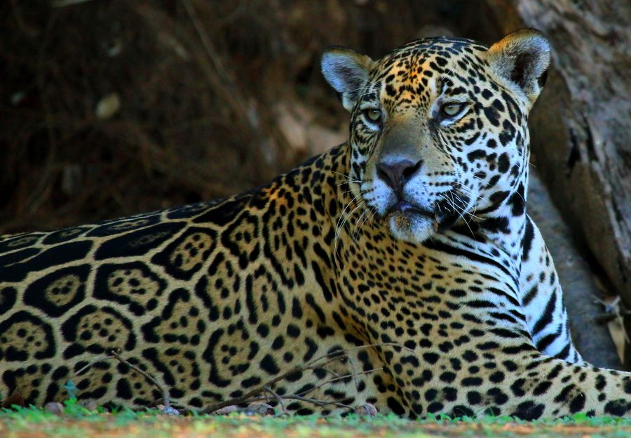 This handsome male jaguar was resting on the bank of a river in the Pantanal, Brazil.  check out the spots