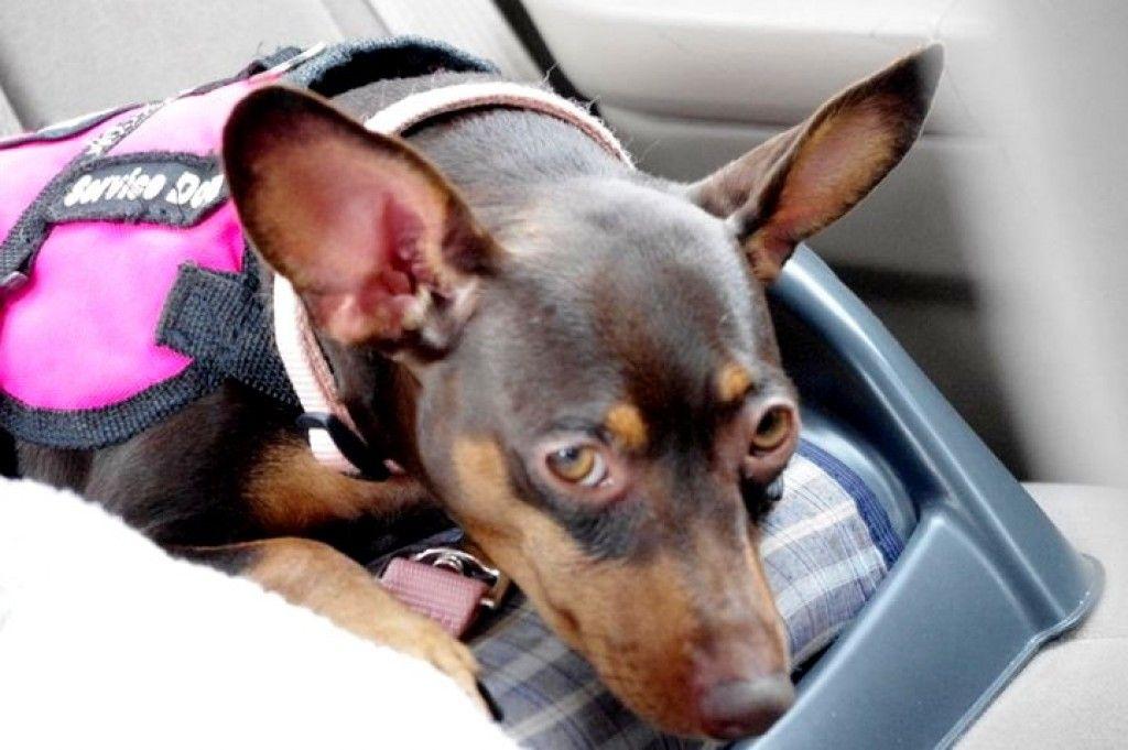 Epilepsy and the service dog epilepsy in dogs service