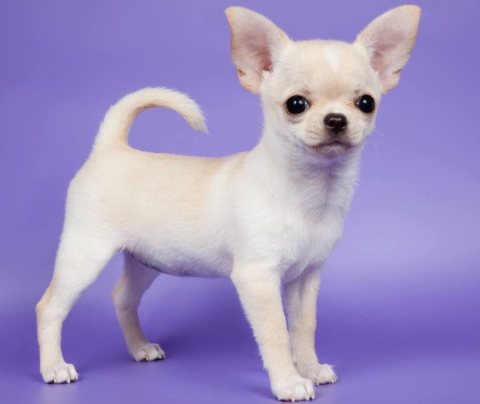 Chihuahua Puppy From Your Friends At Phoenix Dog In Home Dog