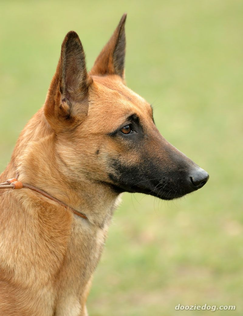 Beautiful light fawn Belgian Malinois. Looks just like my
