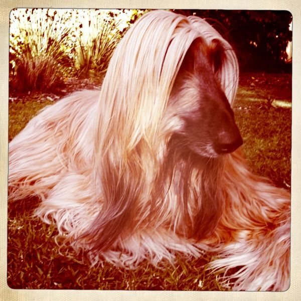 My beautiful afghan hound Saffron. Taken with http://hipstamaticapp.com/ for iPhone