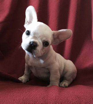 French Bulldog Puppy For Sale In Orlando Fl Adn 26790 On