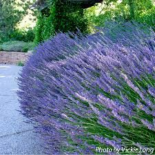 Image result for hidcote lavender
