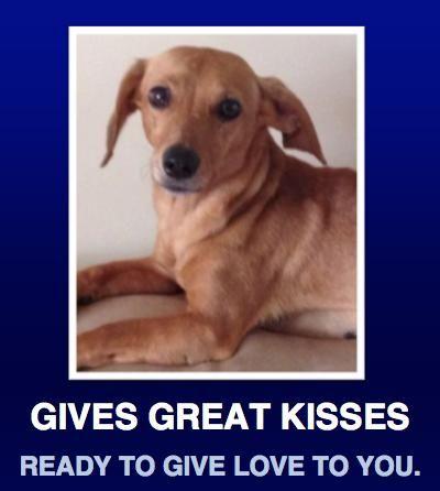 Adopt Missy on Dachshund mix, Dachshund adoption, Pets