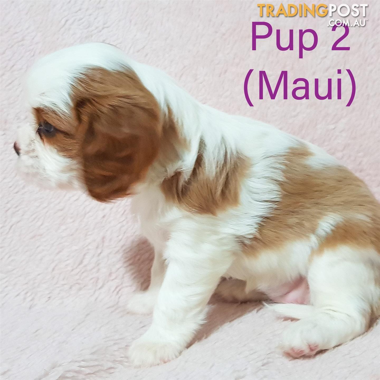 Beautiful Cavalier King Charles Spaniel Pups In 2020 King