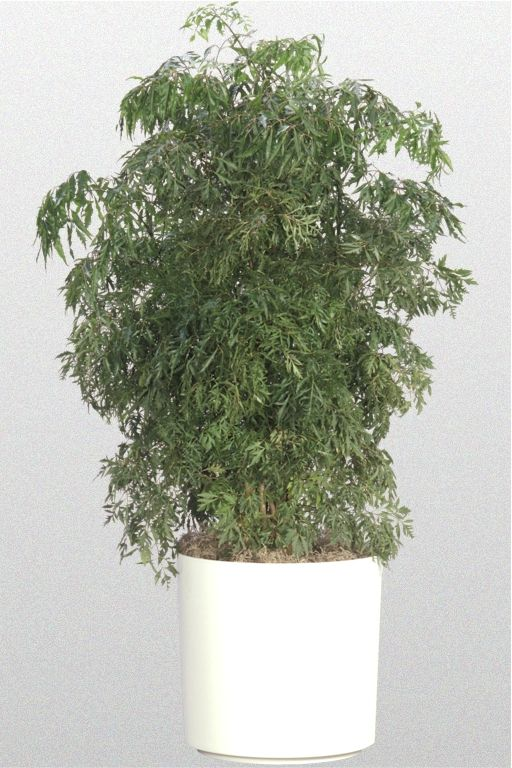 Aralia Houseplants Can Have Lacy Rounded Or Spinach Shaped