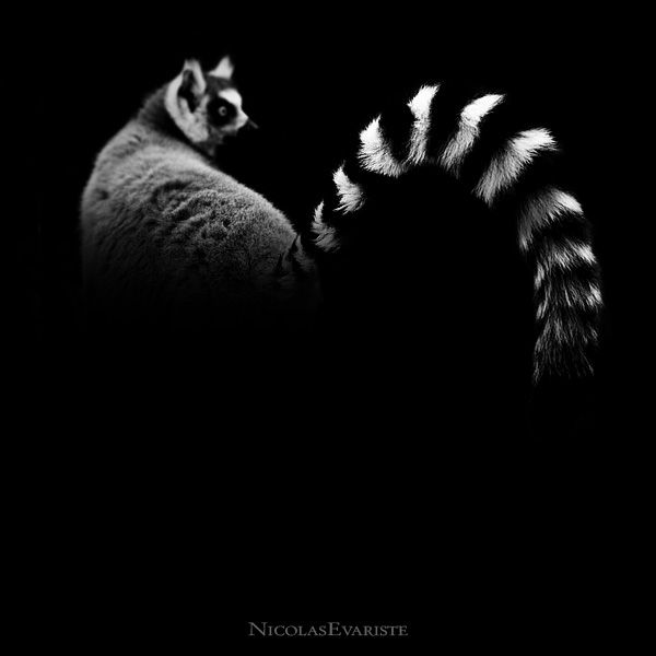 Lemur Catta, photography by Nicolas Evariste