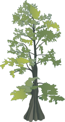 cypress tree drawing cypress tree drawing taxodium distichum bald rh pinterest com cypress tree vector free Cypress Tree Painting