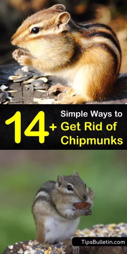 14 Simple Ways To Get Rid Of Chipmunks In 2020 Get Rid Of Chipmunks Chipmunk Repellent Chipmunks