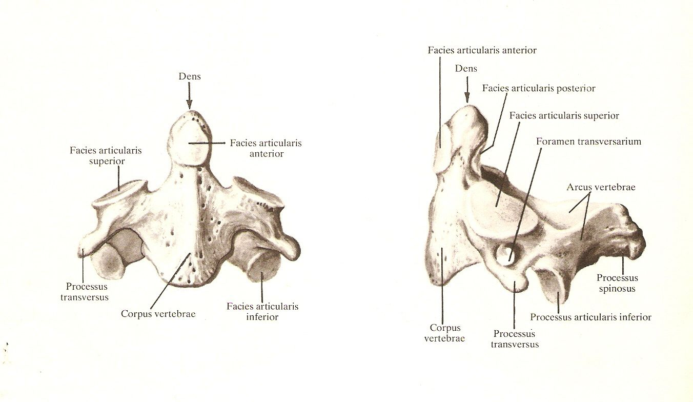 Second Cervical Vertebra Atlas Of Human Anatomy Rd Sinelnikov