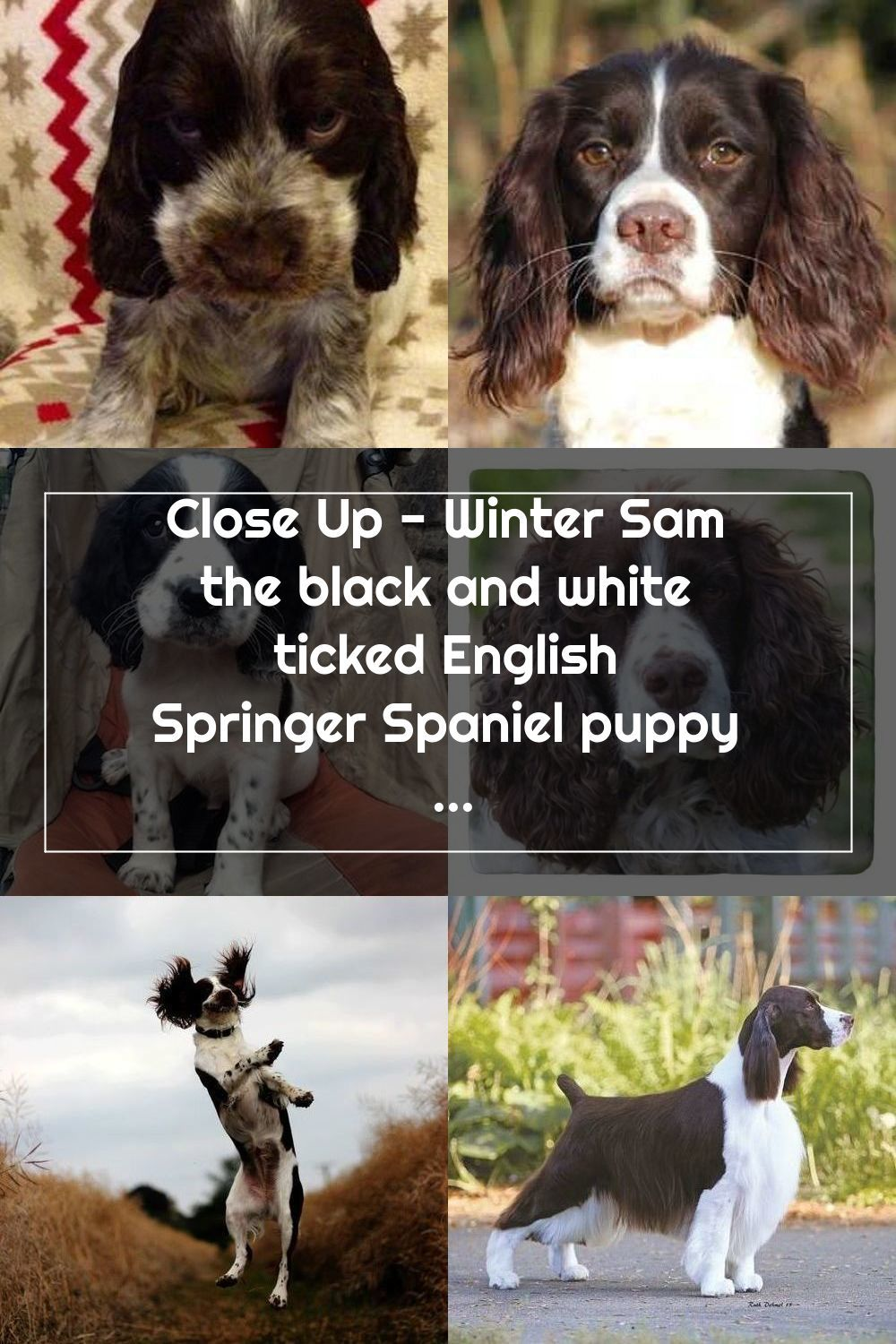 Close Up Winter Sam The Black And White Ticked English Springer Spaniel Puppy Is Sitting In A Baby In 2020 Springer Spaniel English Springer Spaniel English Springer