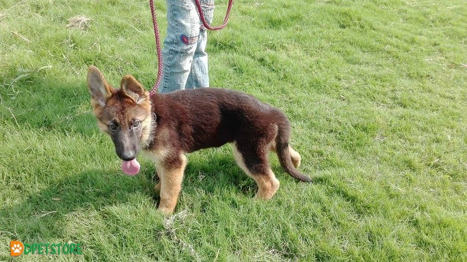 German Shepherd Male Dog 4 Month Age For Sale In Lahore German
