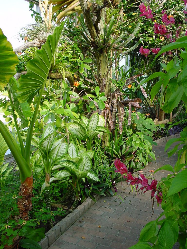 Diefenbachia,  Alocasia and more tropicals with pink flowers of Megaskepasma in the foreground