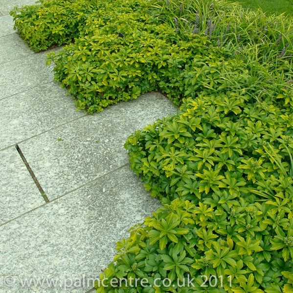 Pachysandra Terminalis Green Carpet From Palm Centre Ground Cover Shade Tolerant Ground Cover Ground Cover Plants Plants Uk
