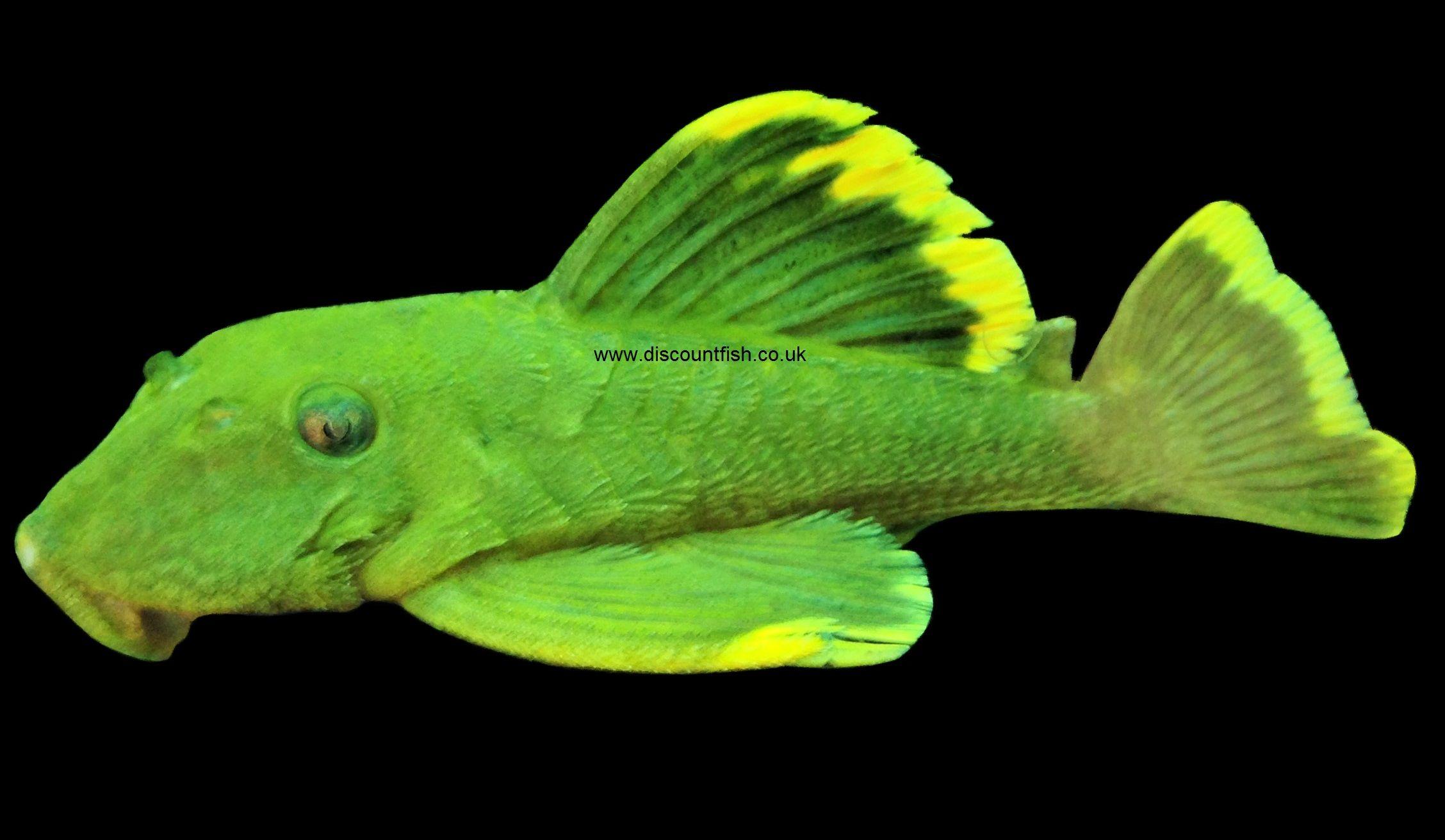 Herbivorous freshwater aquarium fish - Green