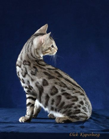 Bengal Kittens For Sale Maryland Nj Ny Pa Bengal Kitten