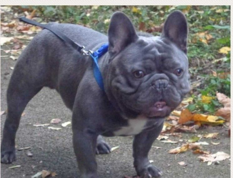 1 Kc Brindle Male Frenchie Available French Bulldog Blue